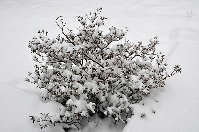 Azalea Plant Winterization