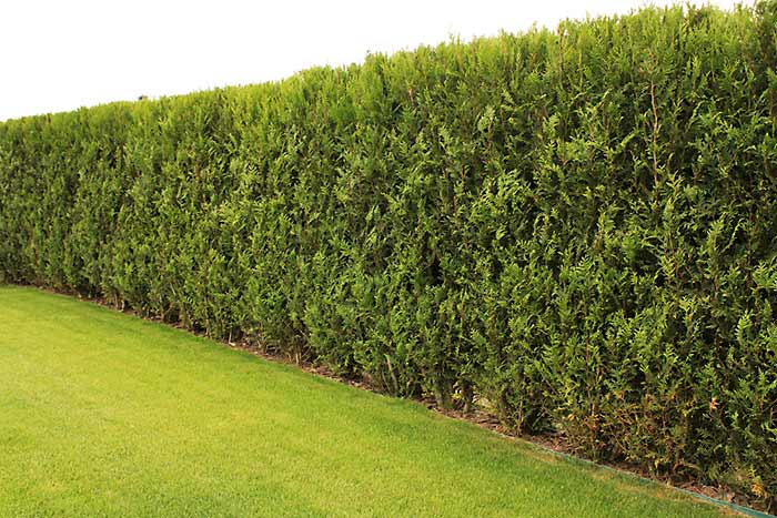 Professional Hedge Trimming Services
